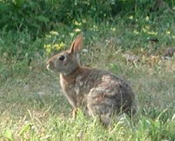 brown backyard bunny